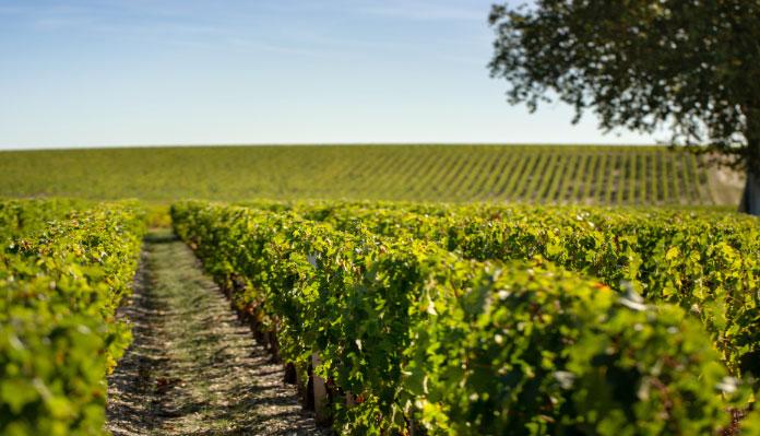 vigne-saint-julien